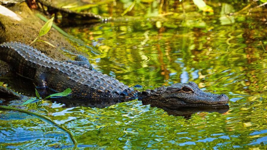 Já imaginou ver bem de perto os famosos aligátores? Na Flórida selvagem isso é possível  - Damon On Road/Unsplash