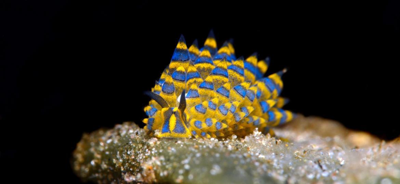 A Costasiella kuroshimae é capaz de realizar a cachama cleptoplastia - Getty Images/Westend61