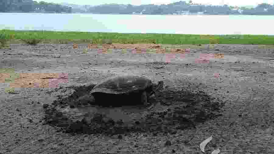 Tartaruga de água doce flagrada desovando nas margens da Represa Guarapiranga, zona sul de São Paulo - Michel Pollmer
