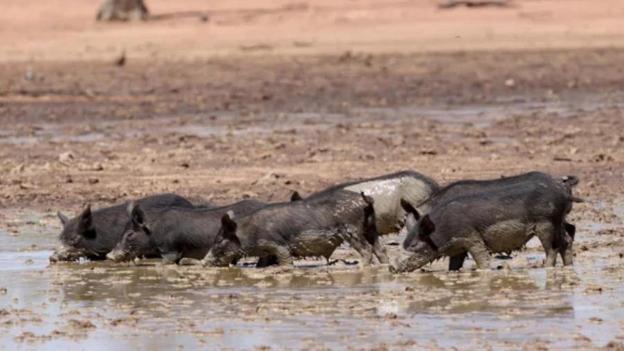 Porcos na Austrália - Getty Images