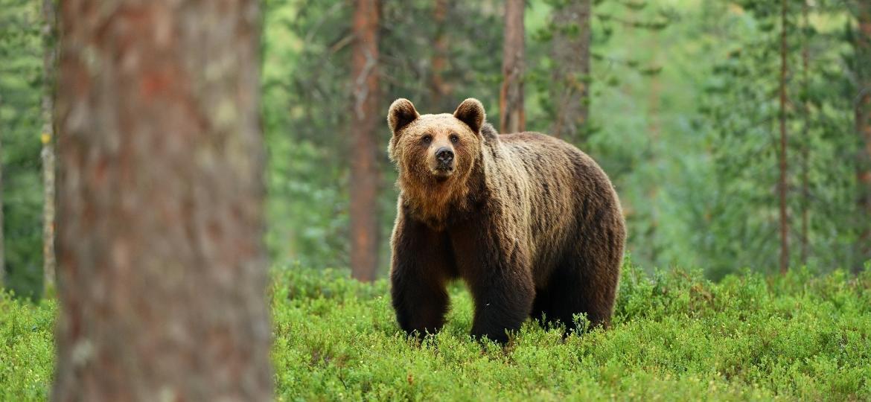 """Eles não são """"caçadores de humanos"""", mas defendem-se de ameaças: algumas técnicas garantem a segurança - Getty Images/iStockphoto"""