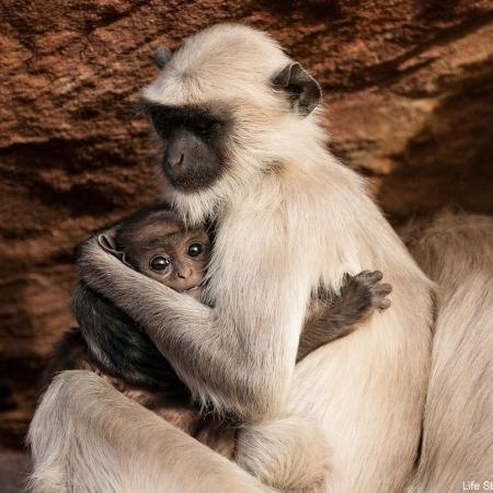 """Mamãe e bebê langur em cena do programa """"Life Story"""", do canal BBC Earth - Divulgação/BBC"""