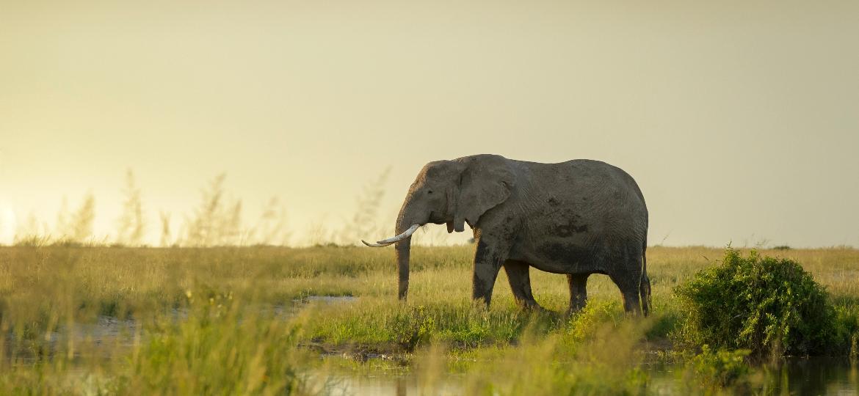 Elefante africano - Getty Images/iStockphoto