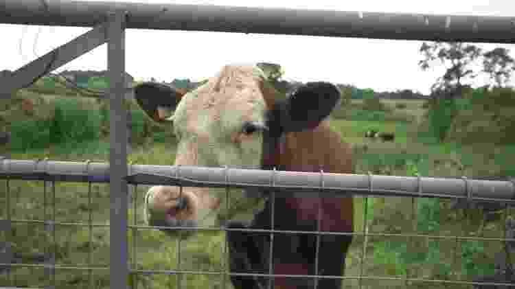 Imagem da matéria da BBC: O criador de gado vegetariano que decidiu salvar suas vacas do abatedouro - BBC - BBC