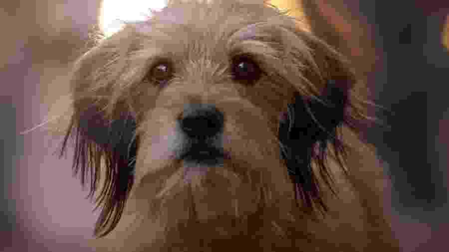 """Você só assistirá ao novo """"Benji"""" se tiver certeza que o cãozinho não morrerá no fim? Seus problemas acabaram - Divulgação"""