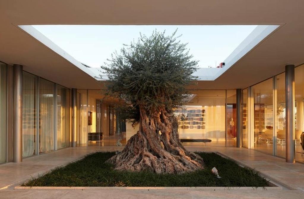 A oliveira é uma árvore que pode viver muitos e muitos anos. Esta, enraizada em uma Vila em Nicósia, no Chipre, foi preservada pela arquitetura e está inserida em um pátio interno. Note que os ambientes em torno dela são envidraçados pelo sistema de fachada