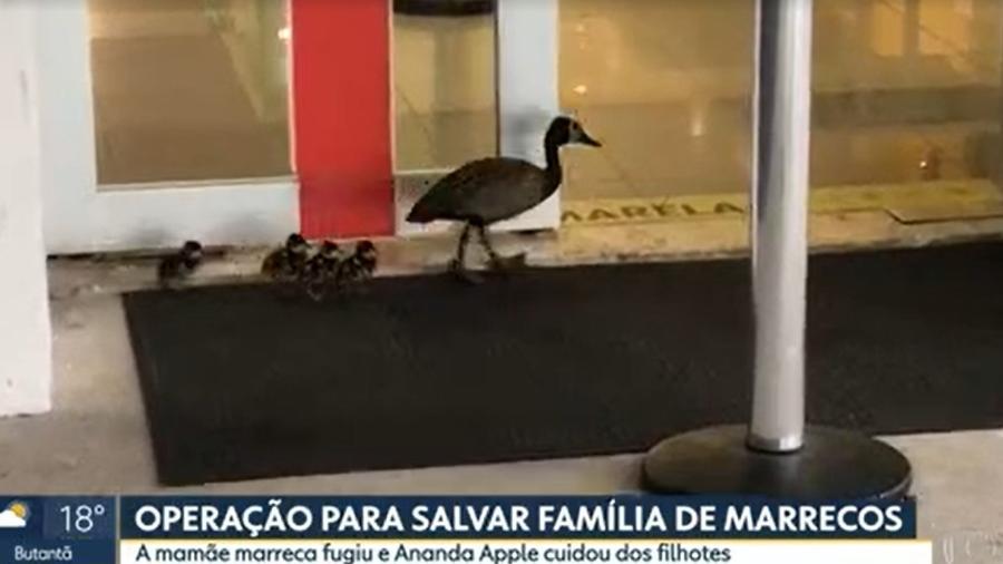 Família de marrecos apareceu nos estúdios da Globo em São Paulo - Reprodução/TV Globo