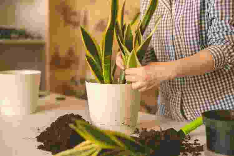 Como cultivar da Espada-de-Santa-Bárbara - Getty Images/iStockphoto - Getty Images/iStockphoto