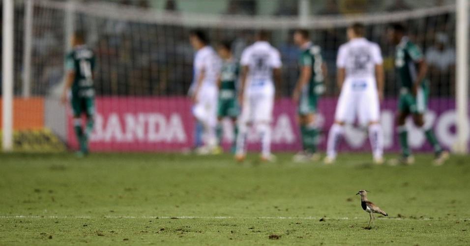 Quero-quero pousa no gramado da Vila Belmiro durante Santos 1 x 0 Palmeiras