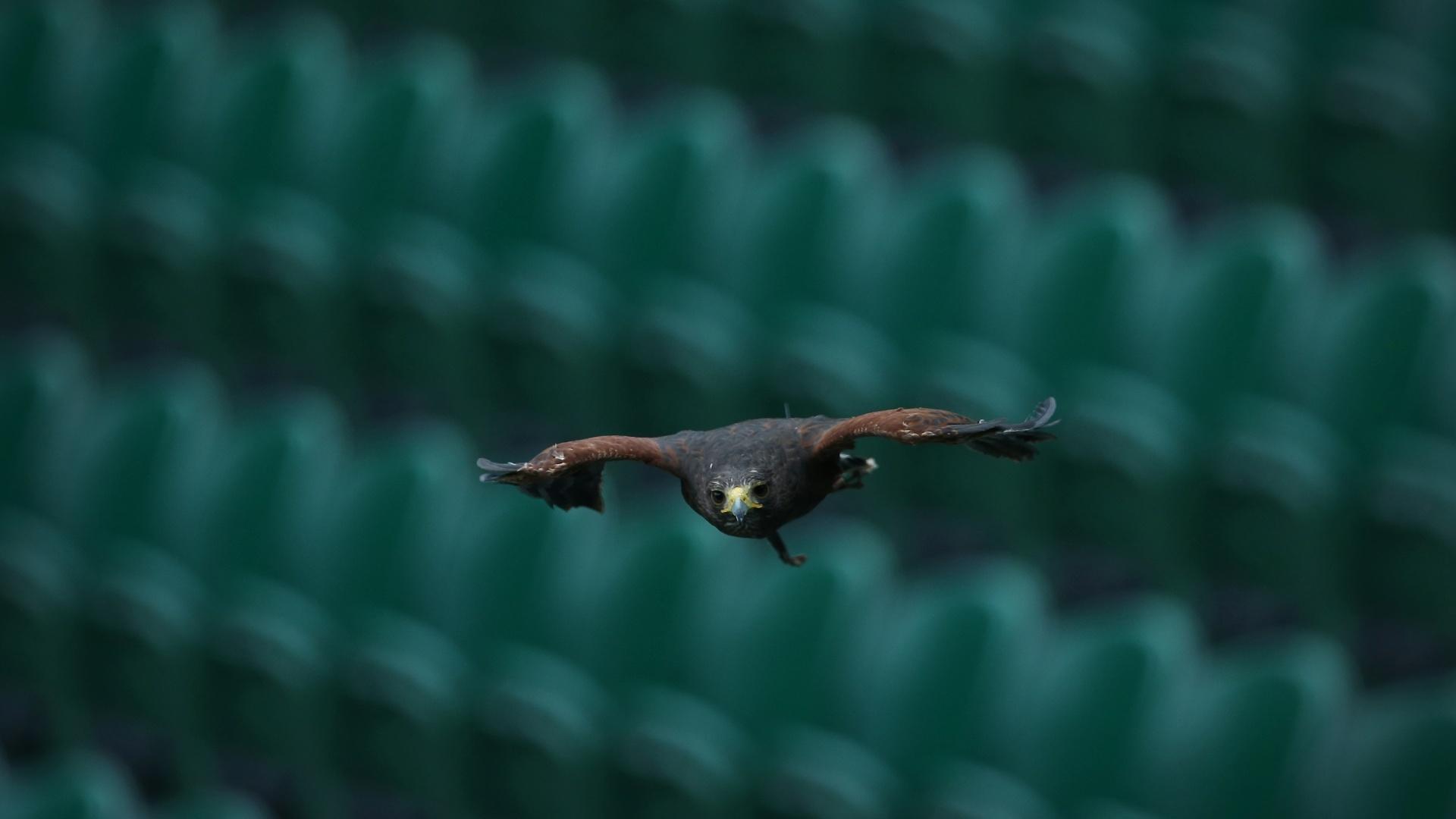 02.jul.2013 - Rufus, falcão responsável por impedir a presença de pombos em Wimbledon, voapelas quadras do complexo