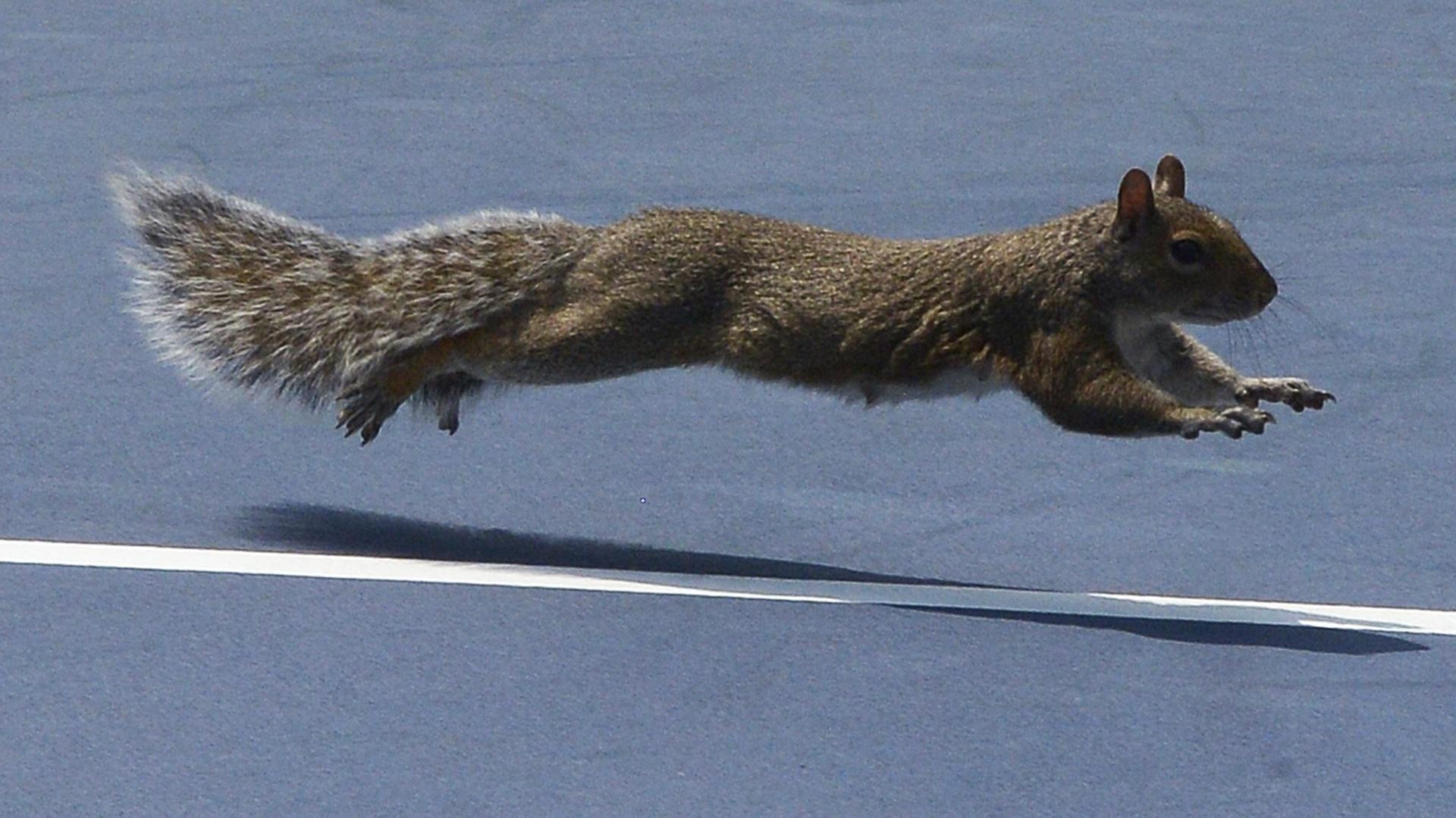 27.ago.2013 - Esquilo invade a quadra durante a partida entre Lucasz Kubot e Jarkko Nieminen durante o Aberto dos EUA