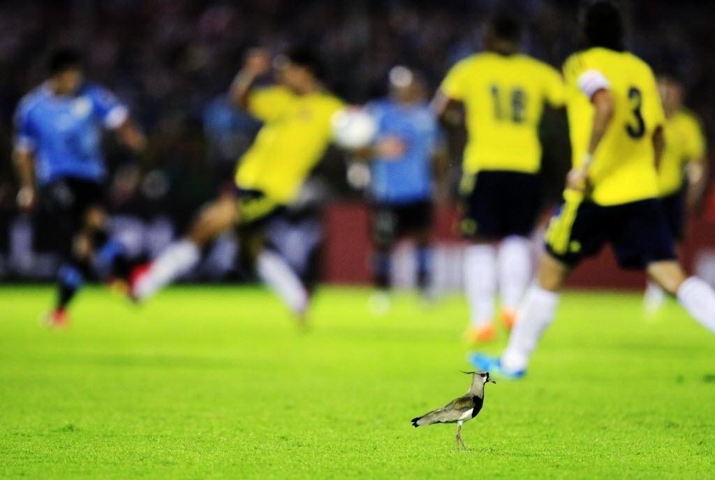 10.set.2013 - Um simpático quero-quero passeia pelo gramado e acompanha, em ângulo privilegiado, a vitória por 2 a 0 do Uruguai sobre a Colômbia pelas eliminatórias da Copa-2014
