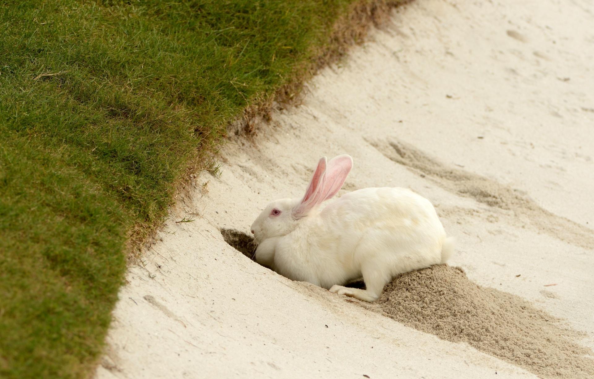 Coelho cava buraco no banco de areia durante o Mundial de Golfe de Xangai, na China