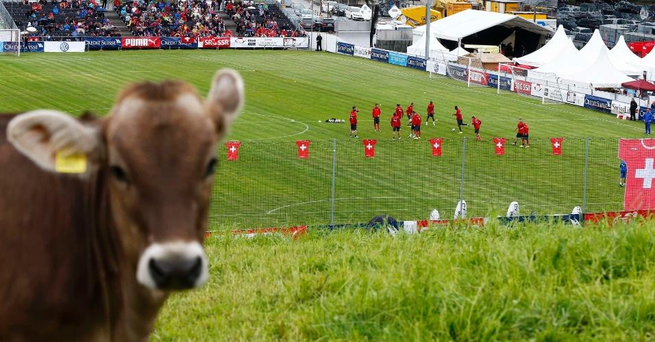 """27.mai.2014 - Uma cena inusitada marcou o treino da Suíça, em Weggis. Uma vaca atrapalhou o trabalho de um fotógrado e saiu de """"intrusa"""" na imagem. A foto começou a ser comparada com uma selfie"""