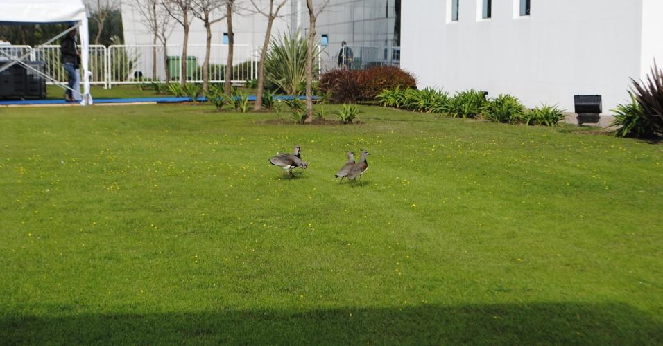 Quero-queros passeiam pelos gramados do centro de treinamento da Argentina, em Ezeiza