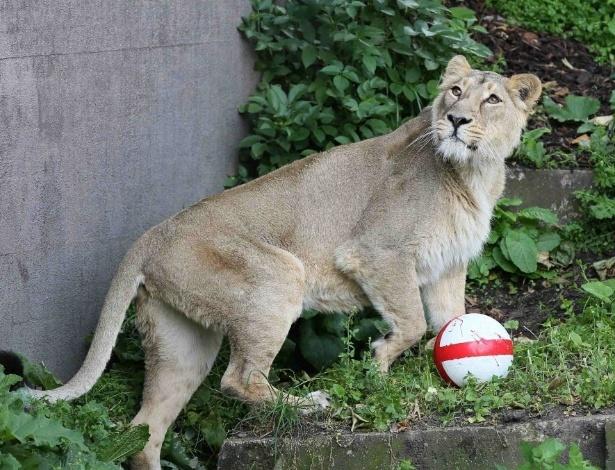 12.jun.2014 - Leão do zoológico de Londres ganha bola com as cores da Inglaterra de presente