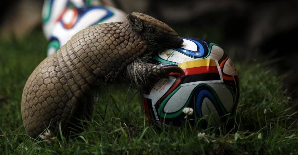 13.jun.2014 - Tatu-bola ganha status de vidente na Alemanha e tenta descobrir vencedor do jogo contra Portugal na Copa do Mundo