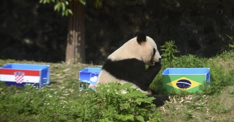 13.jun.2014 - Ying Mei, o panda vidente, escolheu a caixinha certa e apontou o Brasil como vencedor da partida contra a Croácia
