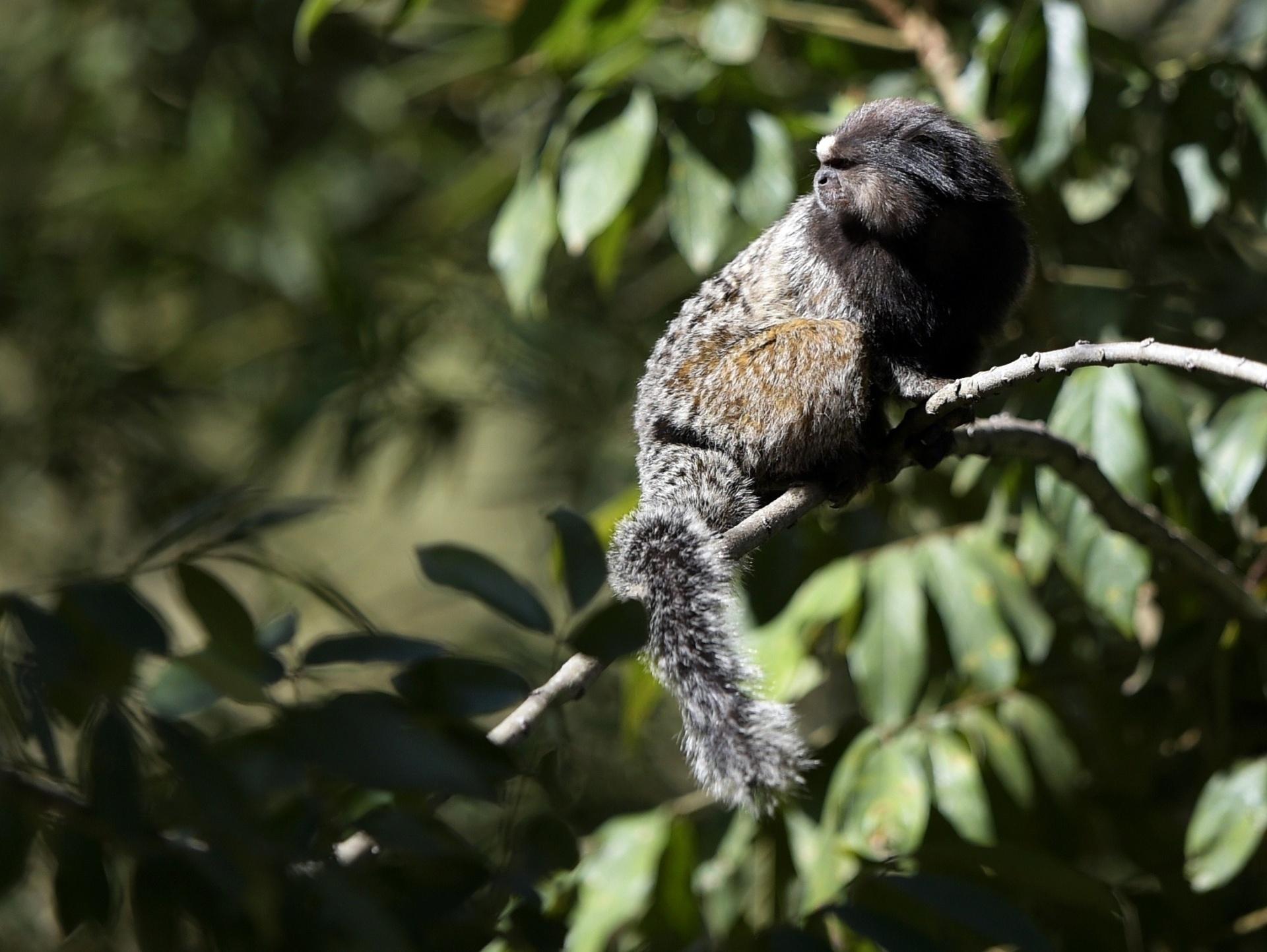 Pequenos macacos são os visitantes ilustres nos treinos da seleção da Argentina, na Cidade do Galo, em Belo Horizonte