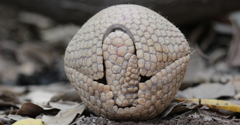 Tatu-bola, animal que inspirou Fuleco, o mascote da Copa do Mundo