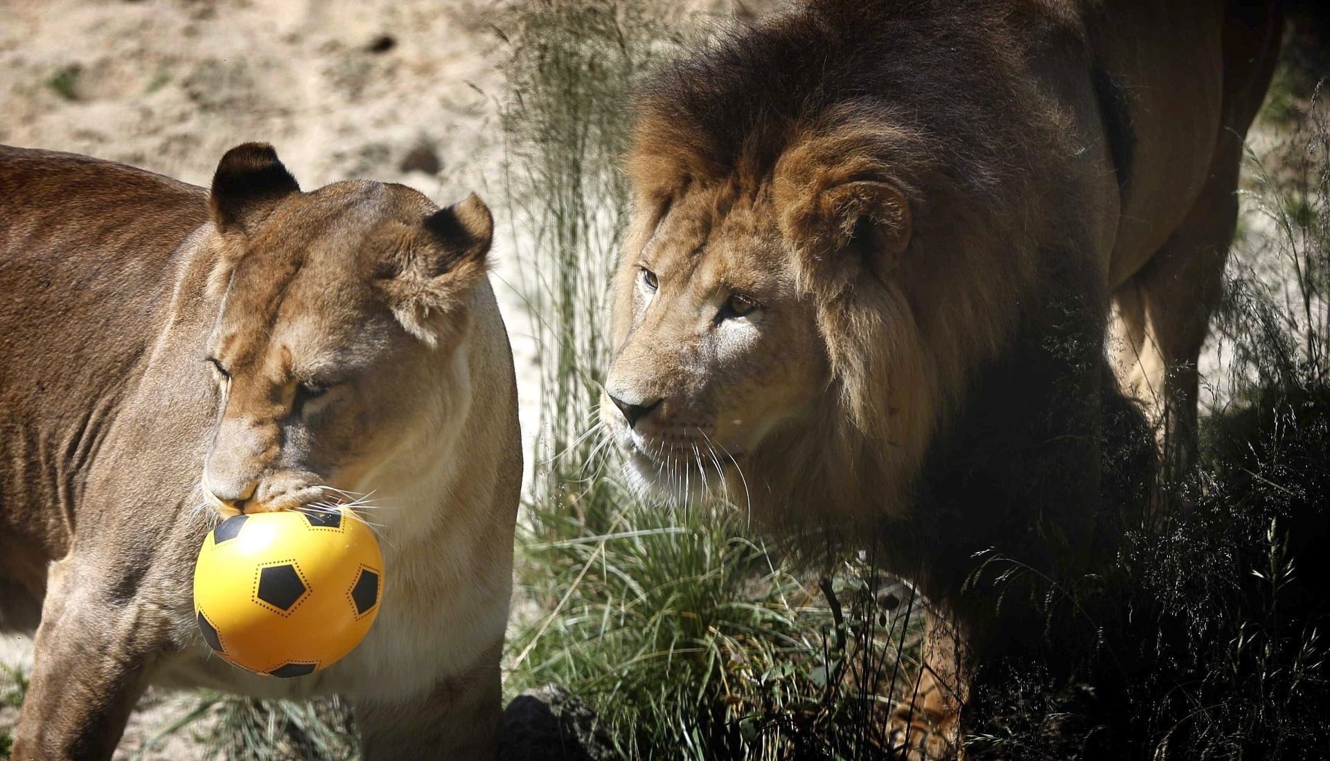 A leoa Brandy, acompanha de perto pelo leão, virou vidente e apontou a Holanda como vencedora no próximo duelo contra a Austrália; Os bichos estão no zoológico de Emmen, na Holanda