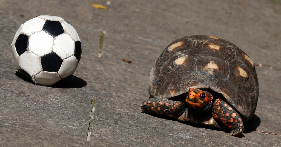 23.jun.2014 - A carioca Tina é outra tartaruga que ganhou o status de vidente por prever jogos da Copa do Mundo