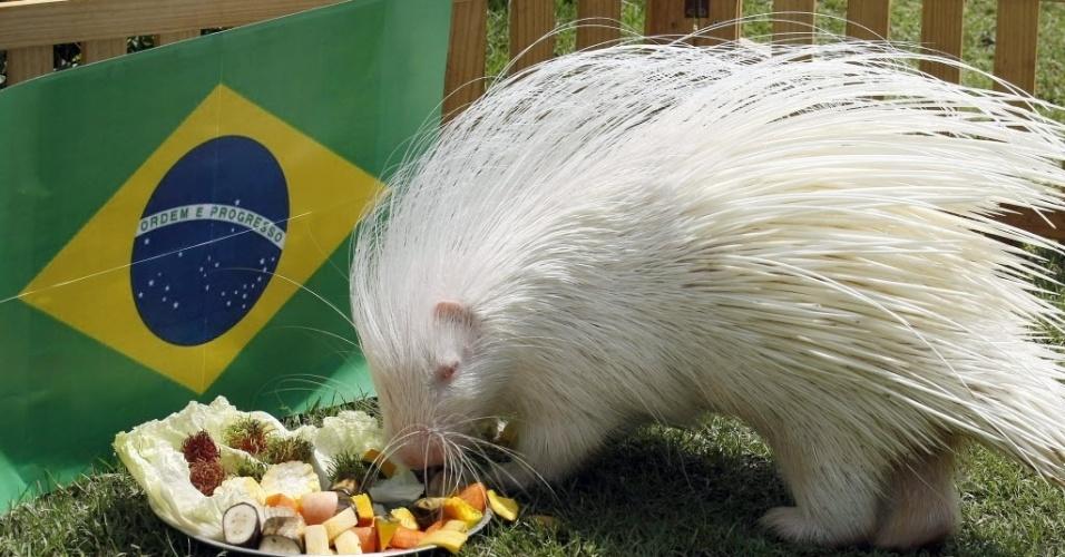 Little, o porco-espinho albino vidente, escolheu a bandeira do Brasil como vencedor para o confronto contra o Chile nas oitavas de final da Copa do Mundo