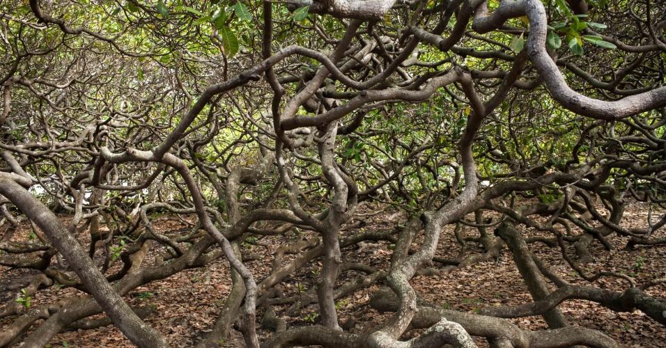 A planta é conhecida como o maior cajueiro do mundo.