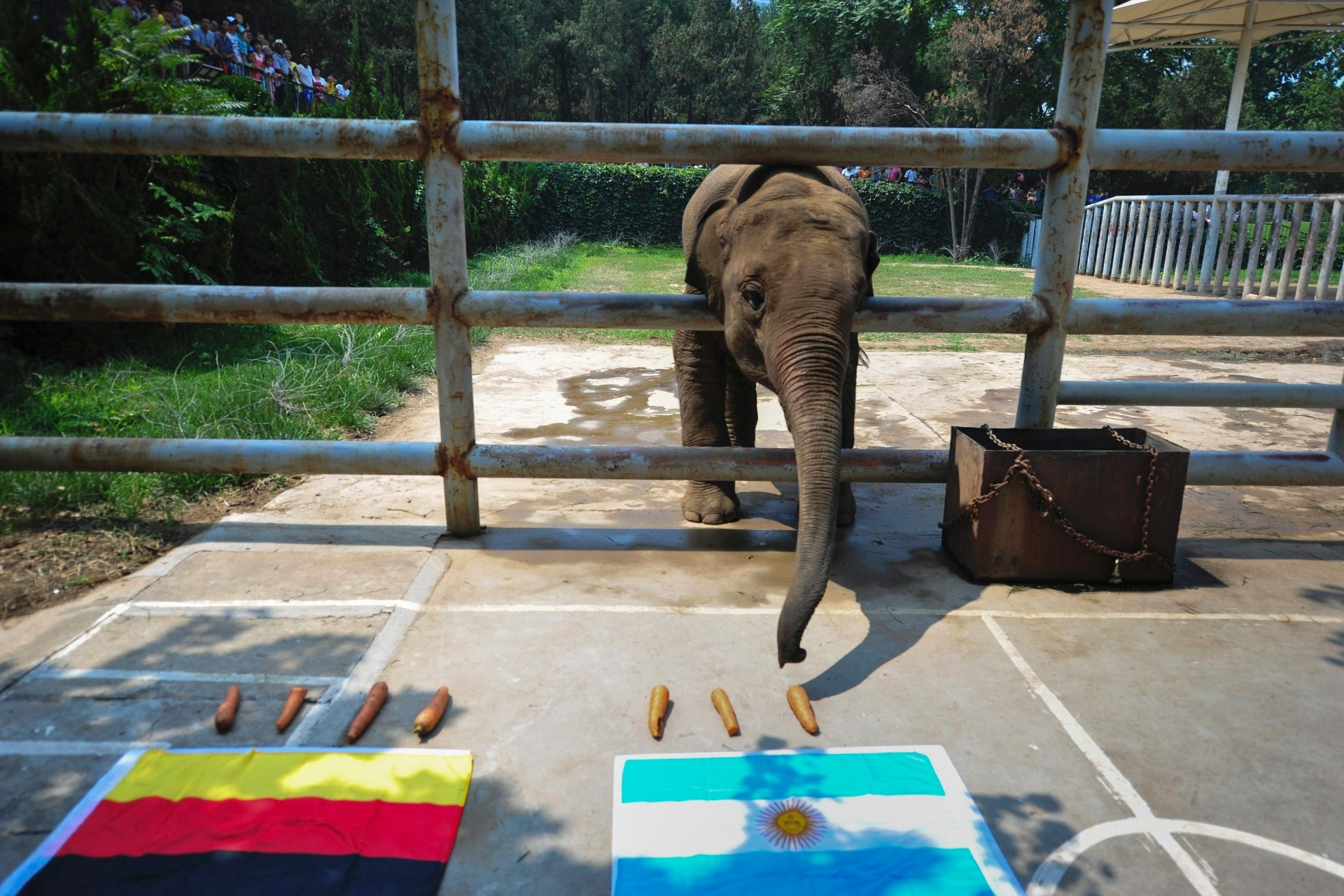 Yalu, um bebê elefante vidente, escolhe a Argentina como vencedora da final da Copa do Mundo contra a Alemanha; o animal está em um zoológico chinês