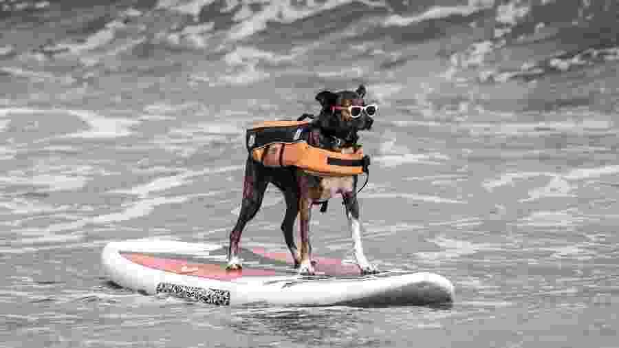 Cachorro Parafina é o representante do Santos no Mundial de Surf Dog - Ivan Storti | Santos FC