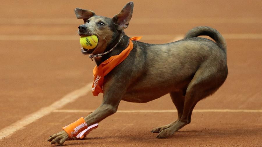 """Cachorros viram """"cãodulas"""" e ajudam gandulas em torneio de tênis - Marcelo Zambrana/DGW Comunicação"""