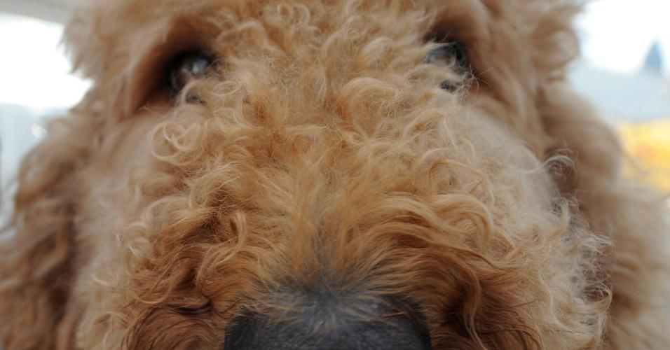 Enzo, um dos cães terepaeutas a serviço dos atletas do Pan de Toronto
