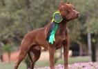 Conheça rotina de Ousado, pit bull de Felipe Melo que é campeão brasileiro - Divulgação
