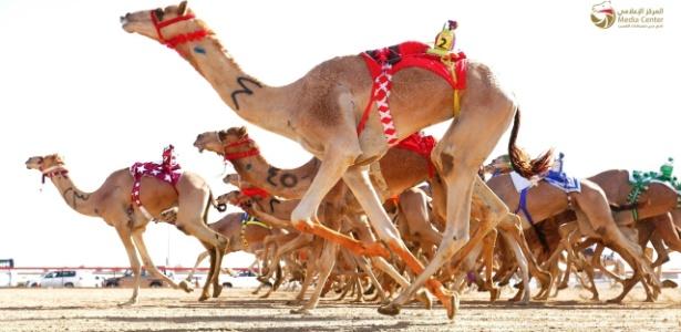 Os camelos iniciam suas carreiras de atletas com um ano de idade