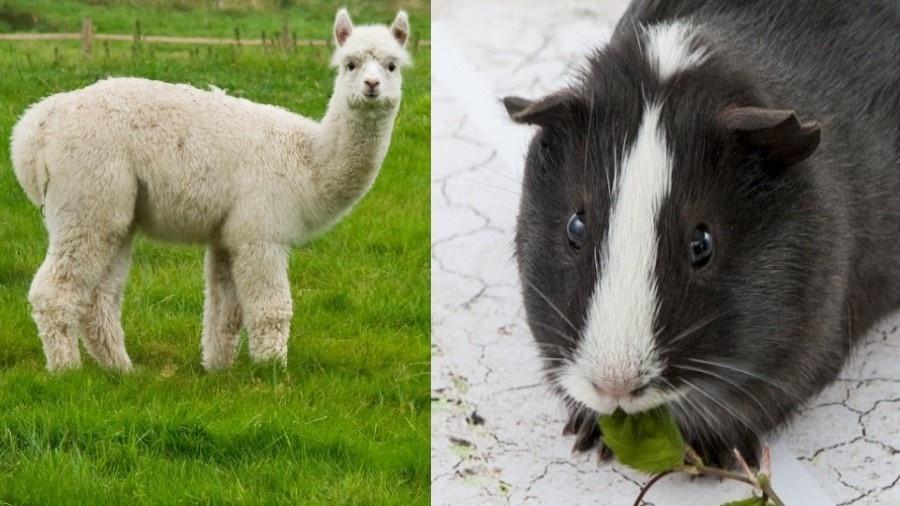 Alpaca e porquinho-da-índia - Reprodução