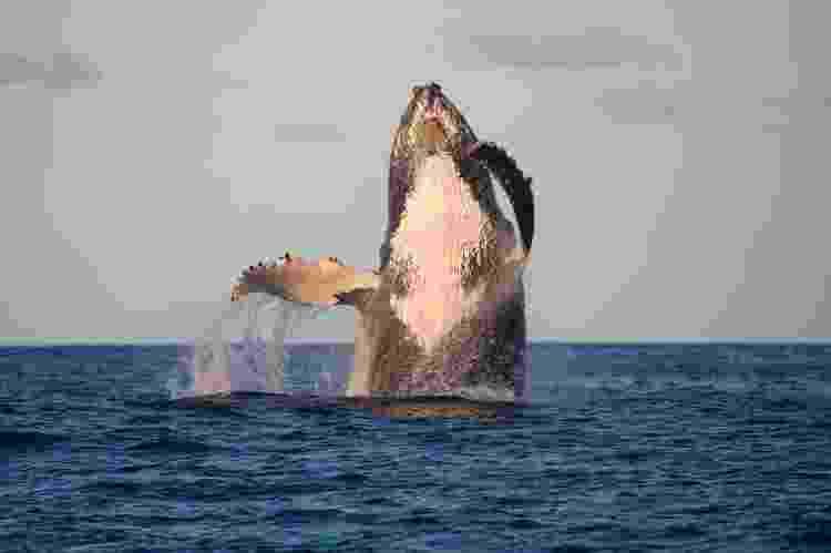 Salto de uma baleia-jubarte - Projeto Baleia Jubarte - Projeto Baleia Jubarte