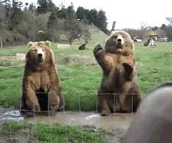 Ursos acenando