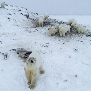 AFP PHOTO / World Wildlife Fund Russia / Maksim DYOMINOV