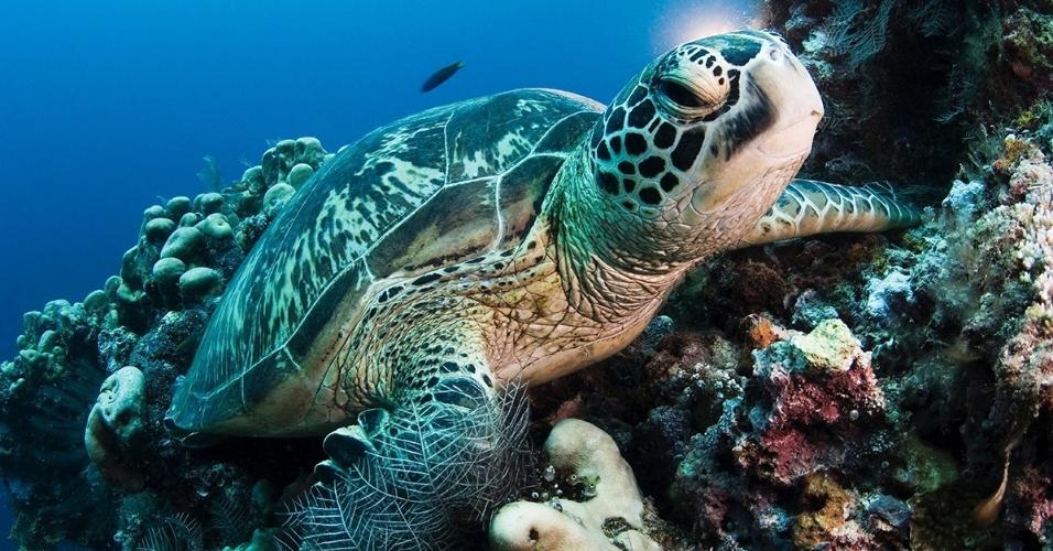 24.jun.2016 - Uma tartaruga marinha nada no fundo do mar na ilha Sipadan, na Malásia. Ao nascer, elas são pequenas - não mais que 5 cm - mas podem chegar a 1,5 m