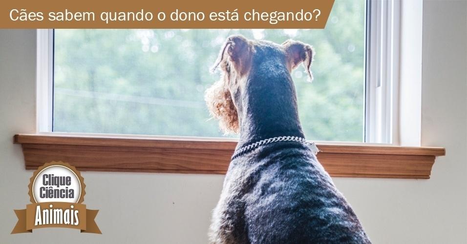 Cães conseguem saber quando o dono está chegando em casa?
