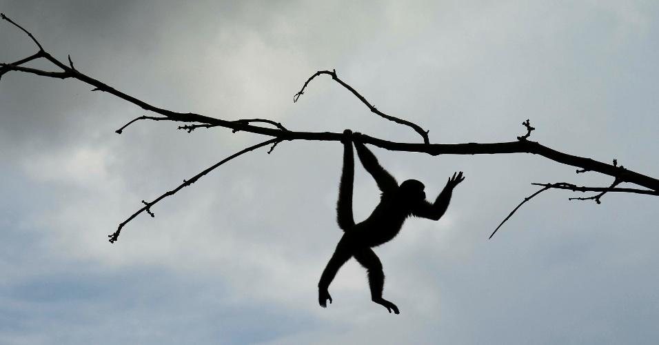 10.out.2016 - Macaco de esquilo (Saimiri sciureus), passeia por galhos no Parque Natural em Nueva Loja, no Equador