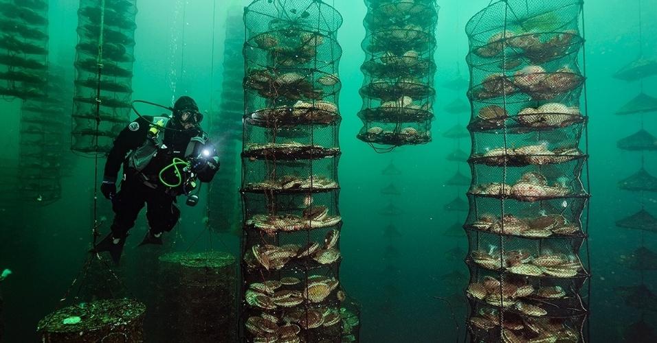 Um mergulhador checa as vieiras japonesas em Vancouver, Canadá. Um declínio na população mundial de vieiras selvagens levou ao aumento da aquacultura (produção de organismos aquáticos para uso do homem)