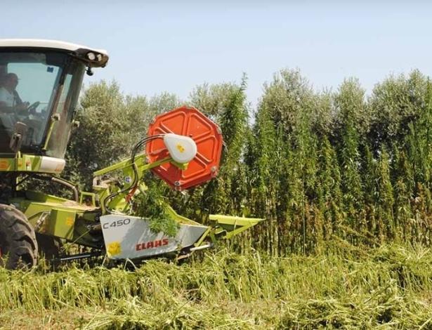 Colheitadeira em ação em campo de cannabis na Itália