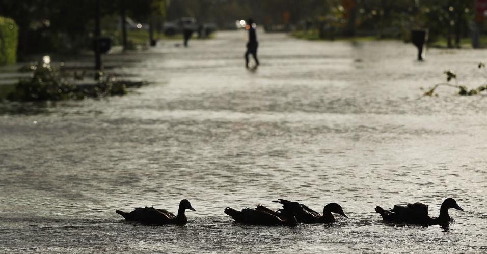 11.set.2017 - Patos nadam por rua inundada em Nápoles, na Flórida, após a passagem do furacão Irma