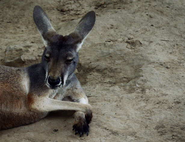 Esta foto do arquivo mostra um canguru australiano que relaxa em seu cercado no jardim zoológico de Beijing. Na China, visitantes  mataram um canguru e feriram outro, atirando tijolos e pedras  - AFP Photo/Mark Ralston Org Xmit: MRR1127