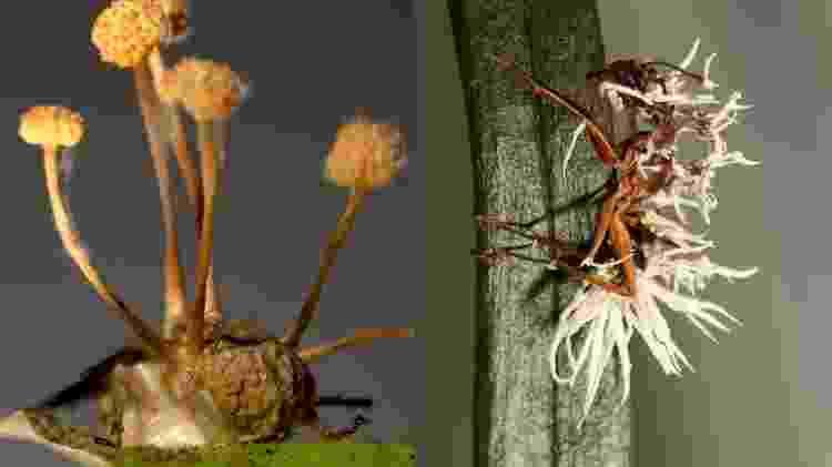 Parasita se desenvolve em insetos - Arquivo pessoal/ João Araújo - Arquivo pessoal/ João Araújo
