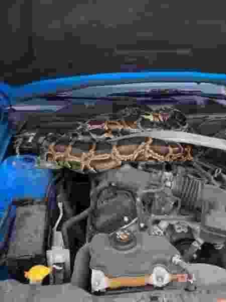 Píton birmanesa estava sob o capô de um Ford Mustang - Reprodução