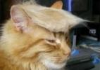 Gatos usam topete como o de Donald Trump em modinha nas redes sociais - Twitter/Reprodução