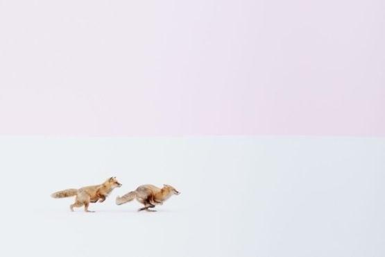 """1º.jul.2016 - As imagens vencedores foram escolhidas em três categorias: Pessoas, Cidades e Natureza. Hiroki Inoue ganhou o primeiro lugar em Natureza com o clique de duas raposas correndo na neve em Biei, no Japão, chamado """"Seguirei você aonde for!"""