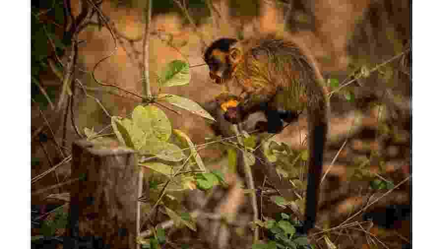 Macaco-prego se alimenta com mamão distribuido por voluntários no Pantanal - Frico Guimarães/Documenta Pantanal